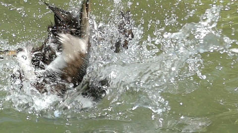 Fluffy mallard dives and cleans her feather in a lake in slo-mo Footage