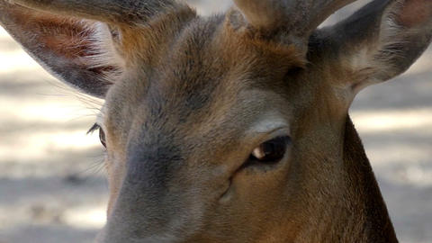 A dreaming brown roe deer looks at soil in a zoo in summer in slo-mo Live Action