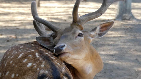 Brown male deer licks its skin in slo-mo. It wants to be handsome Live Action