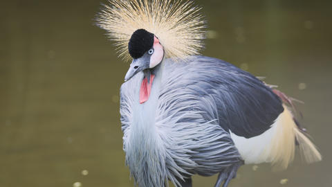 Solitary Black Crowned Crane. UltraHD 4k footage Footage
