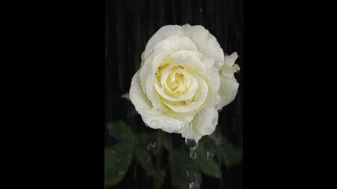 Rain drops on a white rose, on a black background Footage