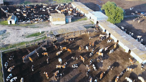 A cowshed barn with lots of cows. Aerial drone shot 4K Footage