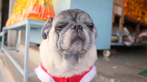 Portrait of Cute Pug Dog In Funny New Year Santa Suit. 4K Footage