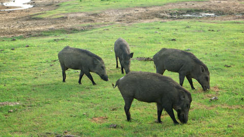 Group of Wild Pigs Grazing in a Sri Lankan Park. FullHD video Live Action