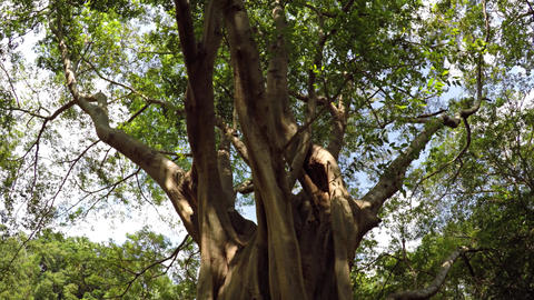 Low Angle Perspective of Mature Tropical Tree in Sri Lanka Footage