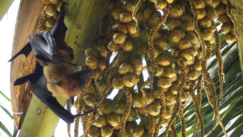 Wild Flying Fox Tasting Palm Fruit in the Maldives Footage