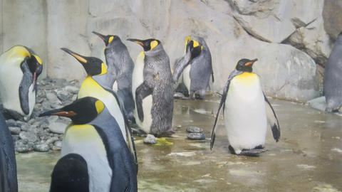 Emperor Penguins Gathered in their Habitat Enclosure at the Zoo Live Action