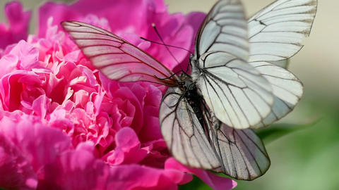 Black veined white butterfly Footage