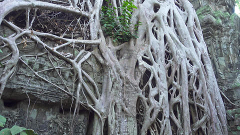 Ta Prohm temple in Angkor Wat, Cambodia, tilt view Footage