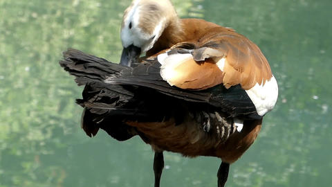 A light brown duck cleans its wing feather at a lake Live Action