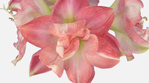 Time-lapse of opening Rozetta amaryllis Christmas flower with ALPHA channel Footage