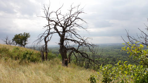A lonely dry dead tree on the hillside. Twisted branches. The tree died from Image