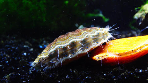 The shell claps the shell. Blue eyes and tentacles near the Black Sea mollusk Scallop (Flexopecten Live Action