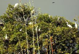 Posada de garzas en árboles de mango Photo