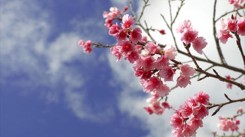 4K sakura japan okinawa 沖縄の桜 ライブ動画