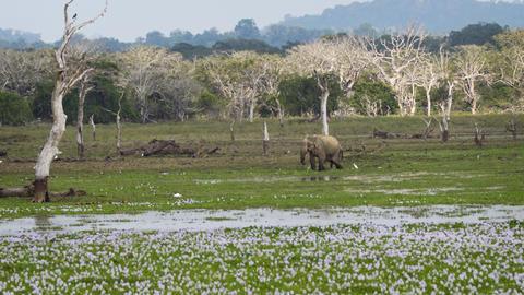 Elephant Grazing in a Swamp in Sri Lankan Wildlife Sanctuary Footage