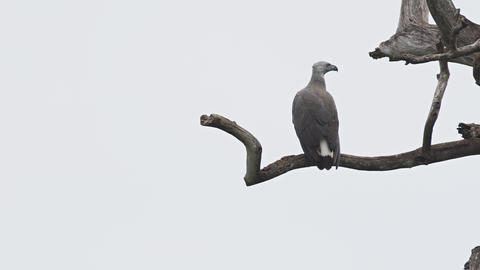 Solitary Gray Headed Fish Eagle Perched on a High Branch Footage