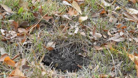 Wasps fly into their nest. Mink with an aspen nest. Underground wasps Footage