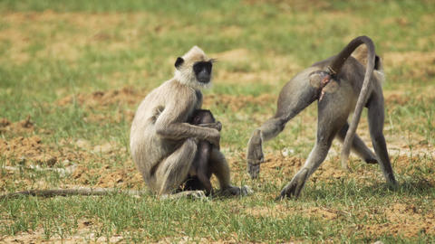 Family of Gray Langurs at Wildlife Sanctuary in Sri Lanka Footage