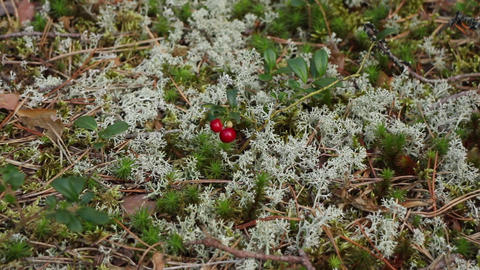red bilberry among moss of yagel Footage