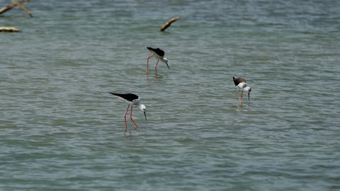 Trio of Common Stilts at Yala National Park. Sri Lanka Footage
