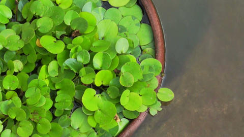 Green tropical aquatic plant in clay pot under water Footage
