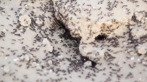 Black ants build home in dry, desert soil Footage