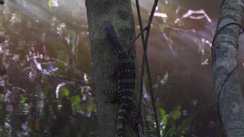 Slowmotion video of a water lizard climbing the tree Footage
