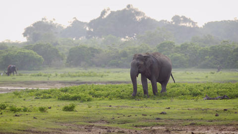 Wild Asian Elephant in Sri Lankan Wildlife Sanctuary Footage