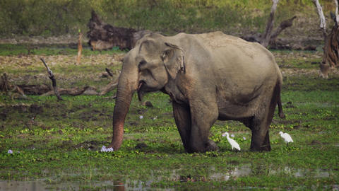 Elephant Wading in a Swamp in Sri Lankan Wildlife Sanctuary Footage