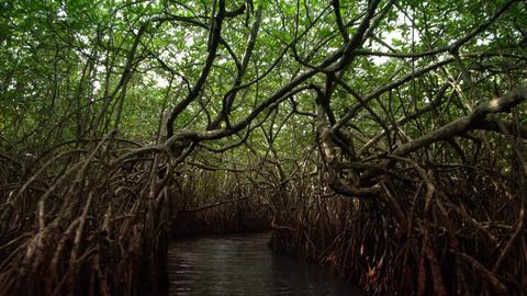 Tunnel through the Mangroves in Sri Lanka Footage