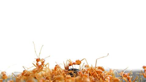 Weaver Ants swarming on an Unfortunate Beetle. 4k footage Footage