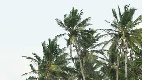 Tropical Coconut Palms Swaying in the Wind in Sri Lanka Footage