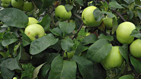 Closeup of Immature. Green Apples on a Tree. Video Footage