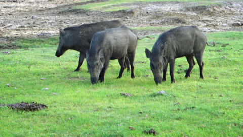 Passel of Wild Boars Grazing in a Sri Lankan Park Live Action