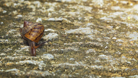 Land Snail Crawling over a Rocky Surface in Thailand. UltraHD 4k video Footage