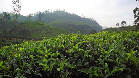 Picturesque View of Tea Plantation with Descending Perspective Live Action