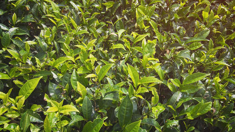 Tea Bushes. planted densely on a Sri Lankan Plantation Live Action