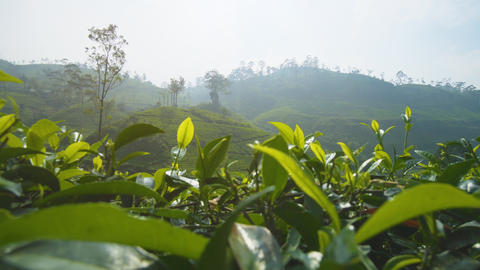Sri Lankan Tea Farms on Steep. Hilly Terrain. 4k footage GIF