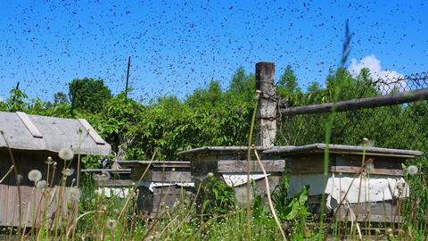 Bees swarming around the hives Footage