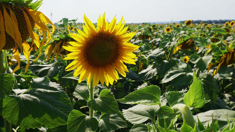 Sunflowers on the field Image