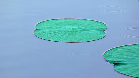 Lily Pads on a Sri Lankan Lake. UltraHD 4k video Footage