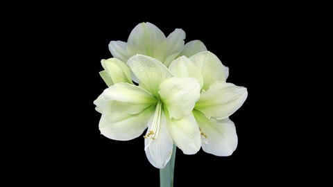 Rotating and growing greenish amaryllis Fantasy flower witth ALPHA 1c3 Footage