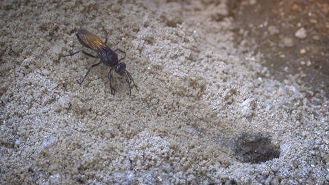 Tarantula Hawk Digging out a Ground Burrow. Video 4k UltraHD Footage
