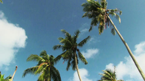 Palm trees blowing in the wind Footage