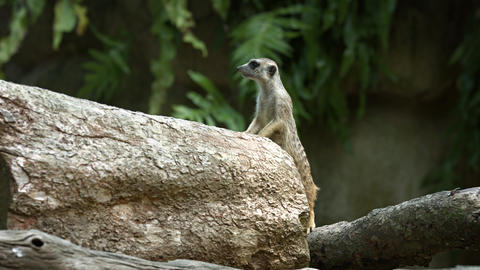 One meerkat protects the family from attacks from the air Footage