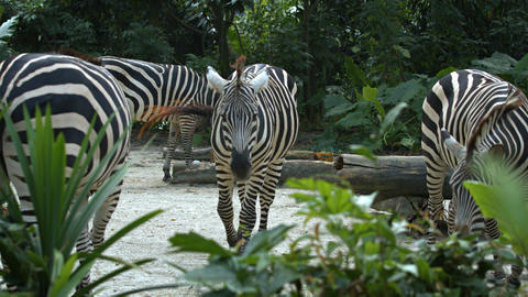 Zebras spend the day in their enclosure Live Action