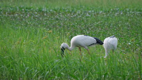 Pair of Asian Openbill Storks. Grazing at Lake's Edge. FullHD video Footage
