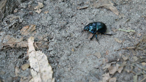 Small Scarabaeus beetle crawls along the ground in the forest. Ukraine Footage