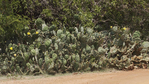 Wild Cluster of Prickly Pear Cacti in Sri Lanka Footage